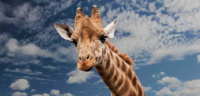Приватизация квартиры с долгами по коммунальным платежам, жираф смотрит жалобным лицом