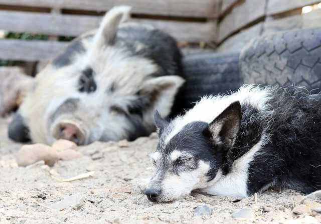 Можно ли сдавать квартиру взятую в ипотеку, свинка и собака спят на улице