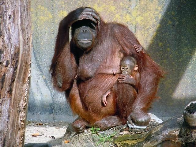 Погашение ипотеки материнским капиталом через МФЦ,обезьяна с детенышем смотрит в даль